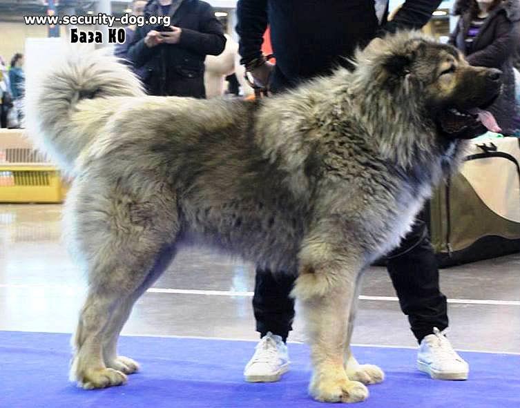 Caucasian Shepherd Dog, Central Asia Shepherd Dog, Security Dogs