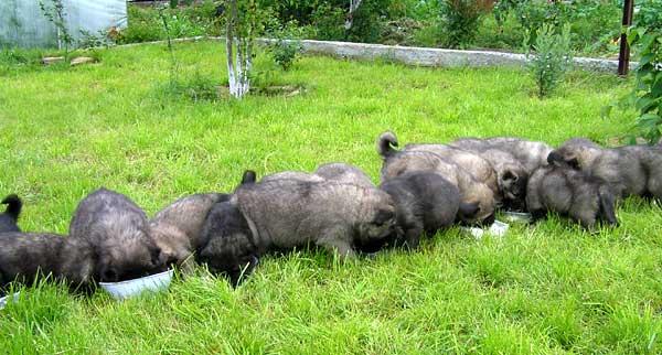 Кавказской овчарки от 2 до 6 месяцев